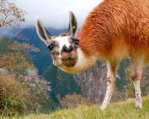 Camélidos sudamericanos muy bien adaptados al piso ecológico Yunka o Selva.