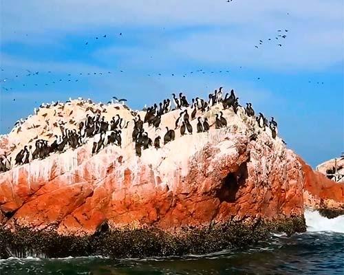 Habitat de lobos marinos y numerosas especies de aves como: pingüinos de Humboldt, flamencos o parihuanas y otras aves.