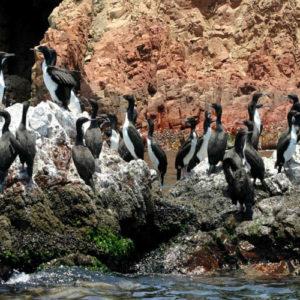 Aves en las Islas Ballestas